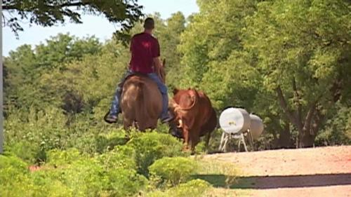 Joel riding with cattle